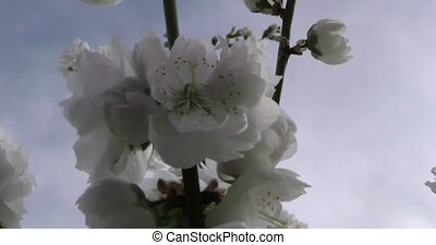 Prunus persica spring flowers on branches close-up....