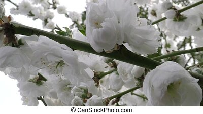 Prunus persica spring flowers on branches close-up 4K 2160p...