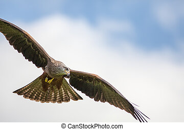 Red kite bird of prey hunting in flight. Aerial predator...