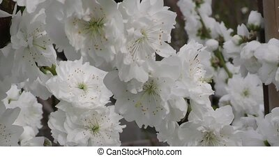 Prunus persica spring flowers on branches close-up -...