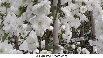 Prunus persica spring flowers on branches close-up