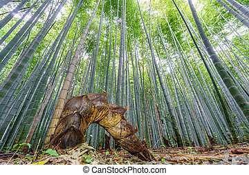 The Arashiyama Bamboo Grove of Kyoto, Japan. - Wide angle of...