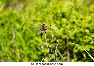 A dragonfly sits on a dry branch of a tree. The color of the dragonfly is slightly brownish. She flew on a clearing in the middle of the forest. It is very difficult to keep up with such a fast insect