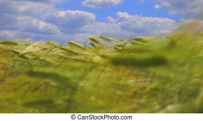 Organic green wheat field and cloudy sky