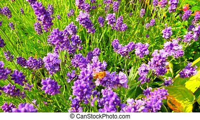 Lavender flowers. Lavender field in the background in soft...