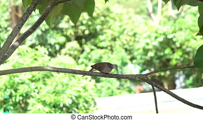 Zebra dove resting on the tree branch - Zebra dove birds...