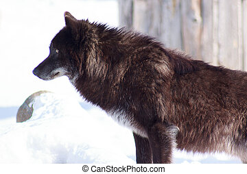 Young black canadian wolf looks out for its prey. Animal...
