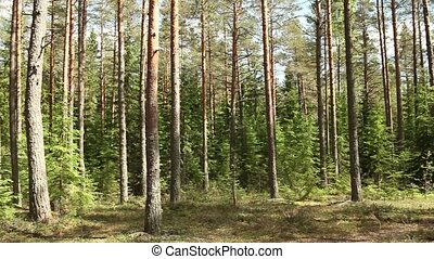 forest in summer panorama - Pine forest in summer, panorama