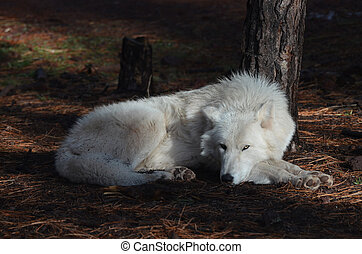 Lovable White Wolf Resting In The Wild - Lovable White Wolf...