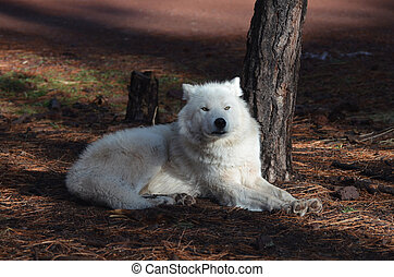 Alluring White Wolf Resting In The Summertime - Alluring...