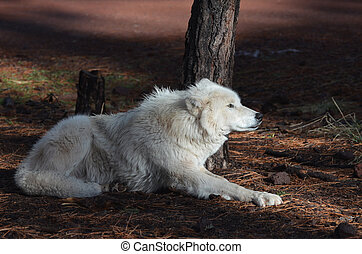 Compelling White Wolf In Nature During The Summer - Large...
