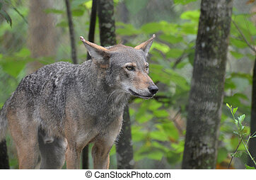 Captivating Gray Timber Wolf In The Wilderness - Captivating...
