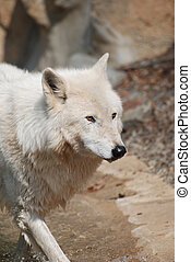 Captivating Arctic White Wolf In The Wilderness -...