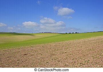 chalky soil and pea crop - an extensive hillside pea crop on...