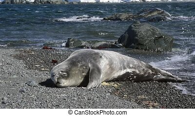 Weddell seal pup on the beach in Antarctica