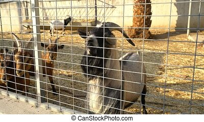 Goats on a farm on Cyprus island - Black and white goats on...