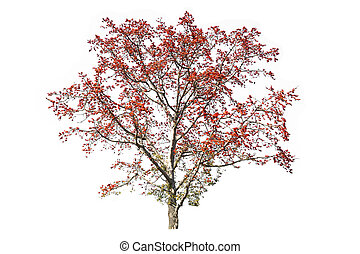red tree (Bombax ceiba L.) isolated on white background
