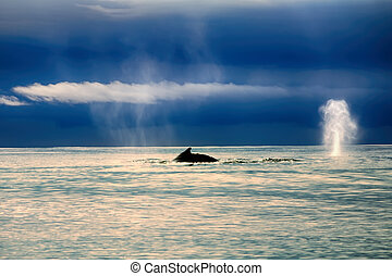 Whales in the Pacific ocean - Two whales in Pacific ocean in...