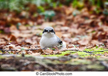 Great grey Shrike in search of food - Predatory passerine...