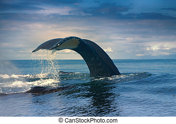 Whales in the Pacific ocean - huge Hump-backed whale...