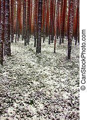 invierno, primero, días, pino, bosque