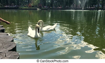 people fed two swans on Lake at warm summer day