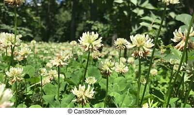 clover field in the garden - white clover field in the...