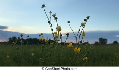 yellow wildflowers at sunset - beautiful yellow wildflowers...