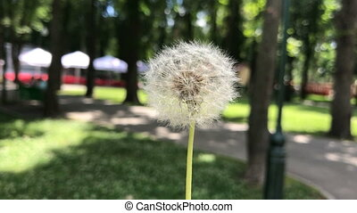 dandelion moves from the wind