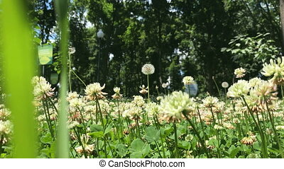 white clover field - beautiful white clover in the field