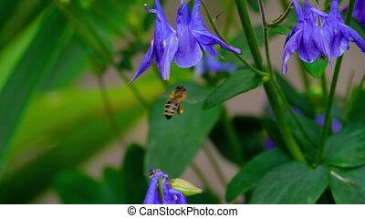 Bee on aquilegia flower - Bee on a purple aquilegia flower