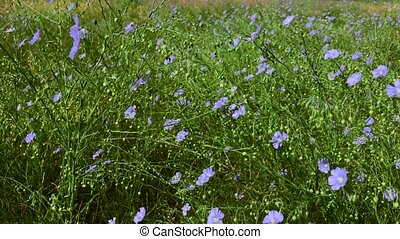 Flax perennial with blue flowers and green stems in the wild...