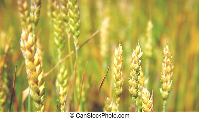 moving camera focus on the wheat field with