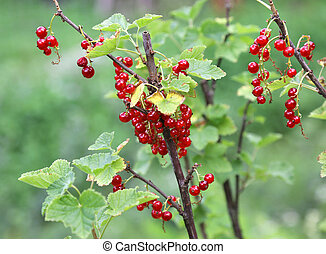 Ripe fruits of currant or ribes in green plant in summer
