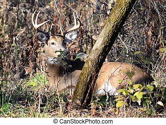 Whitetail Deer Buck - Whitetail deer buck bedded down in the...