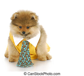 male pomeranian puppy - pomeranian puppy male wearing shirt...