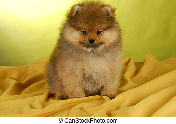 pomeranian puppy sitting on yellow blanket with yellow...