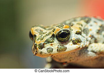 portrait of cute european green toad