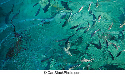 Shark in a school of reef fish, turquoise clear ocean.