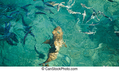 Shark in a school of reef fish, turquoise clear ocean....