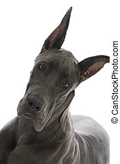 great dane portrait