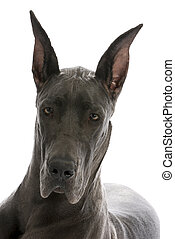 great dane portrait - great dane puppy portrait - blue...