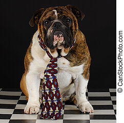 dog wearing tie - english bulldog wearing mens tie on black...