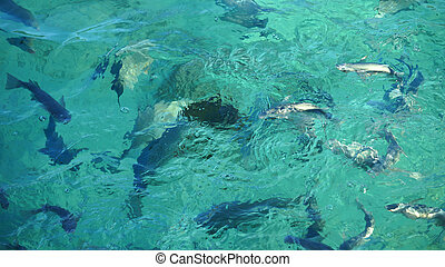 Shark in a school of reef fish, turquoise clear ocean. -...