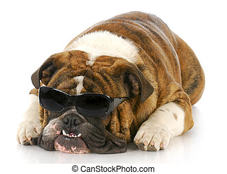 english bulldog wearing sunglasses