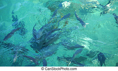 Shark among school of reef fish, turquoise clear ocean....