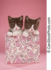 Two british shorthair kitten in a box on pink background