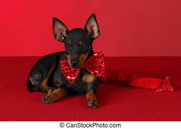 bad puppy - toy manchester terrier puppy wearing red devil...