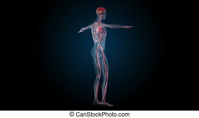 All human body systems. Transition body - circulatory system - body