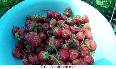 gathering pick up ripe red strawberry and putting it in dish...